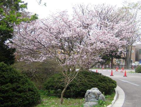 旧函館営林支局前のチシマザクラ チシマザクラと紅梅が早くも見頃を迎えようとしています。