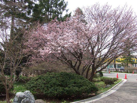 北海道桜前線北海道桜前線(2012年)最新の記事へ北海道桜前線