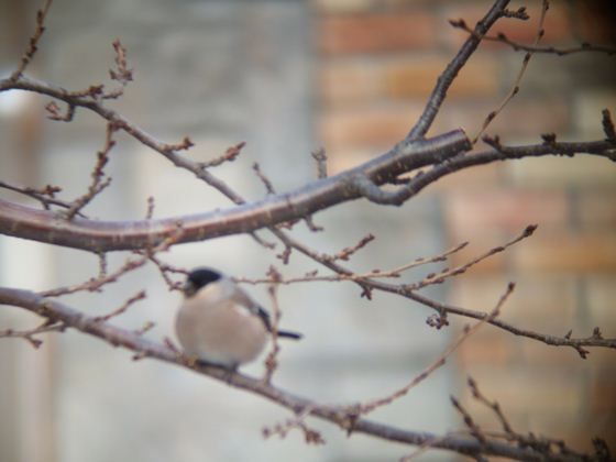 サクラの芽を啄んでいる野鳥ウソ。