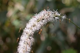 サラシナショウマ(キンポウゲ科)