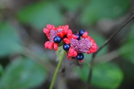 ヤマシャクヤクの種子