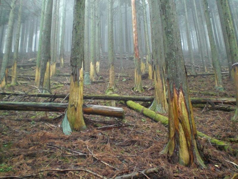 スギ人工林におけるシカの剥皮被害