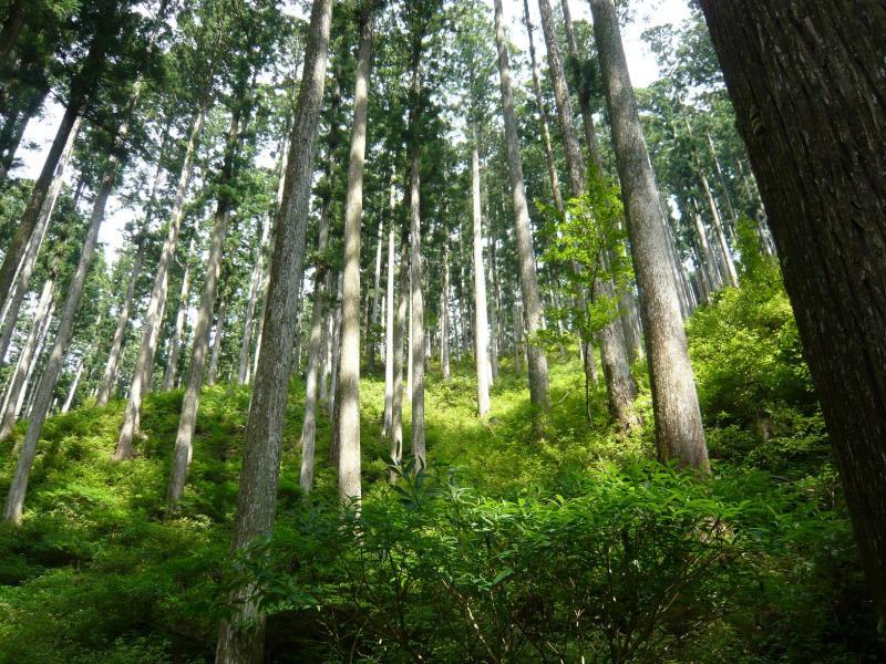 スギ人工林内の様子