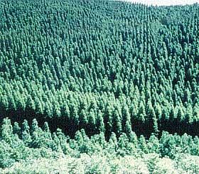 針葉樹(スギ)による森林づくり