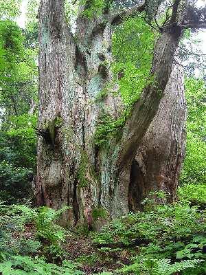18スギ-オブ山の大杉