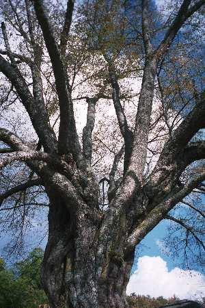 38ヤマサクラ-越代の桜