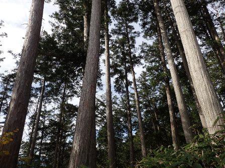 ヒノキ人工林