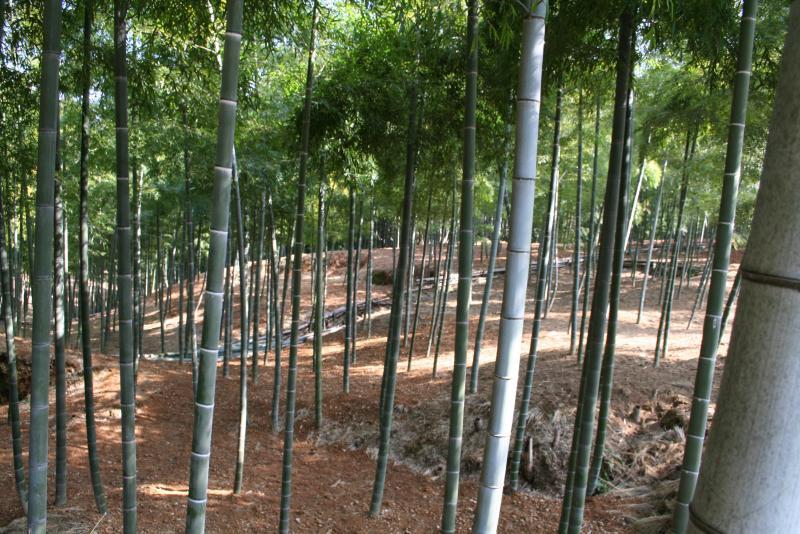 竹の画像 p1_16