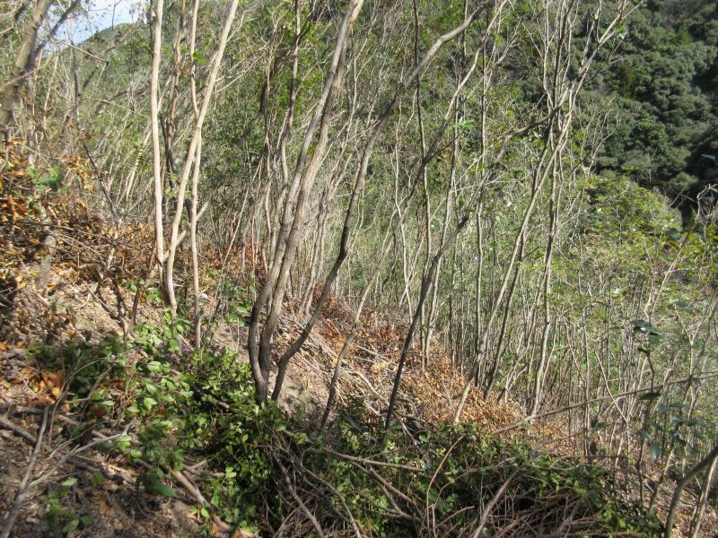 紀州備長炭の原料となるウバメガシ林