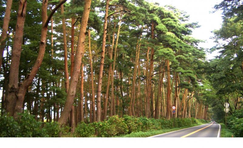 那須街道アカマツ林