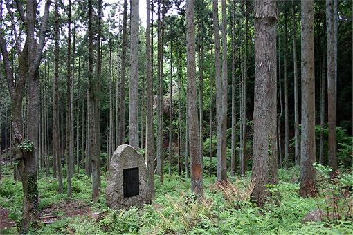 樹齢70年に育った発祥の地のスギ、ヒノキ