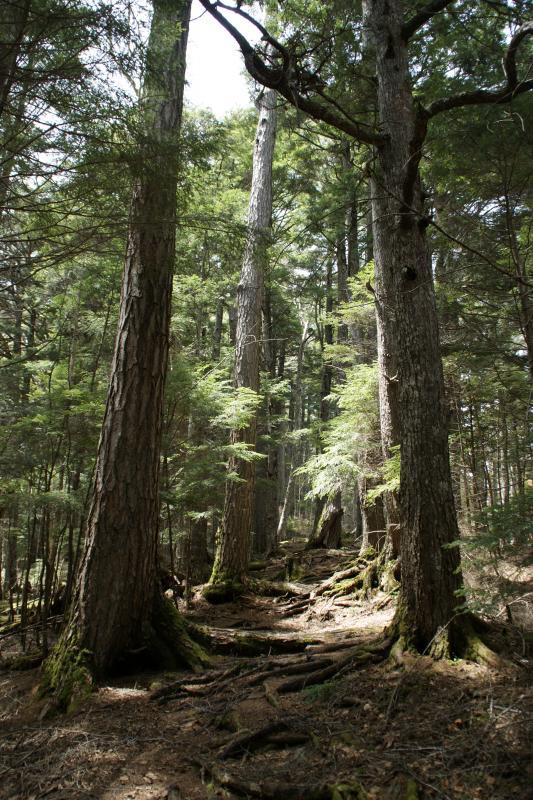 コメツガ天然林
