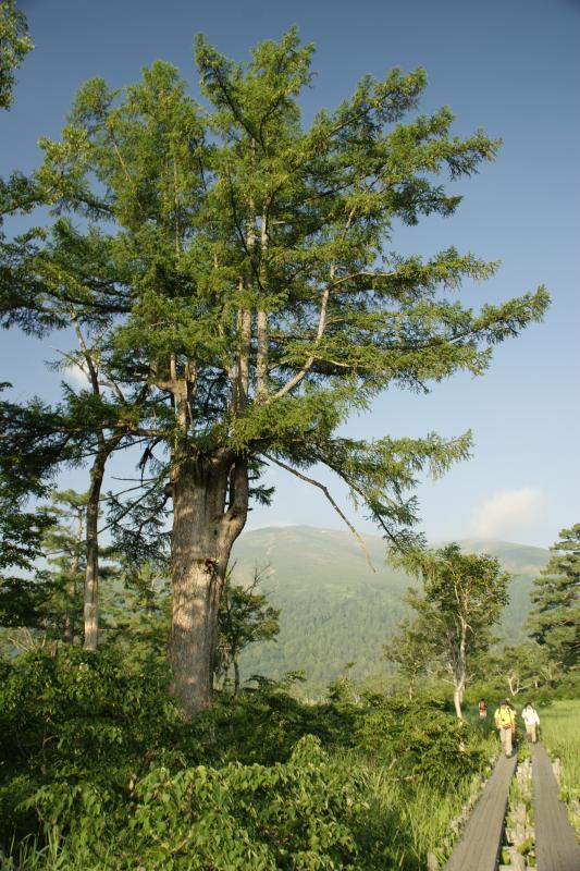 カラマツの巨木