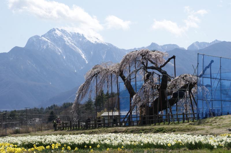 神田の大糸桜