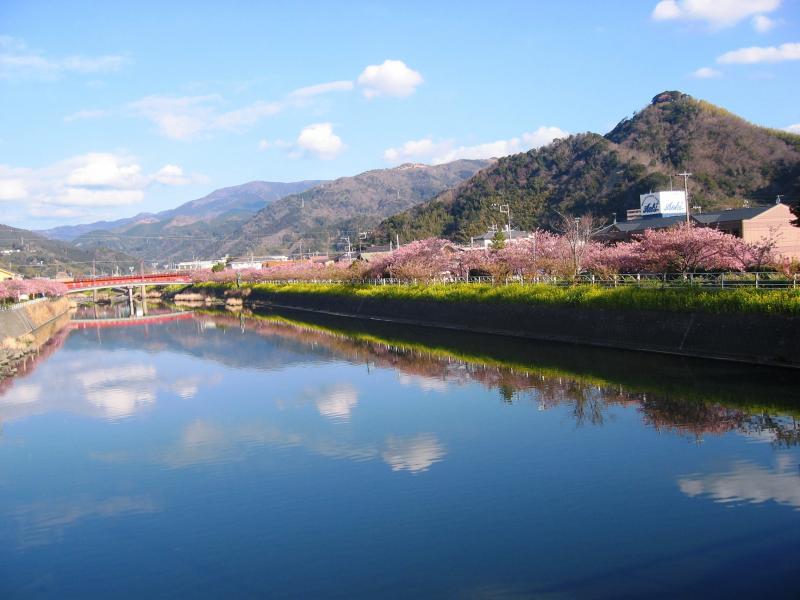 河口から望む河津桜