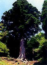 静岡県伊豆市の「天城山太郎杉」