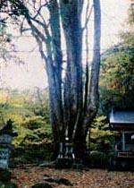 福島県西郷村の「剣カツラ」