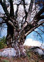 福島県古殿町の「越代の桜」