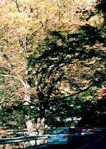栃木県塩原町の「イロハモミジの巨木(瀬川モミジ)」
