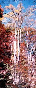 群馬県草津町の「嫗仙の滝のカツラ」