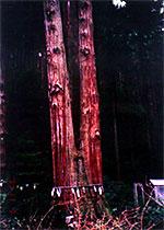 茨城県日立市の「御岩山の三本杉」