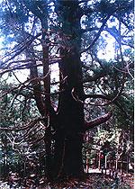 静岡県東伊豆町の「シラヌタの大杉」