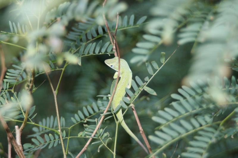 グリーンアノールの画像 p1_27