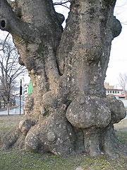 追手門跡地にある樹齢570余年の「大ケヤキ」