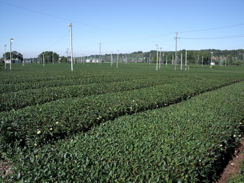 国有林周辺に広がる茶畑