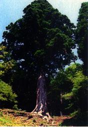 天城山(あまぎさん)太郎杉