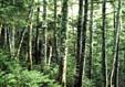 シラベの林内