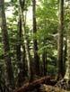 コメツガの林内