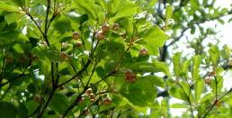 サラサドウダンツツジの花