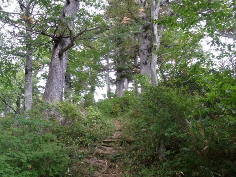 登山道沿いのヒメコマツ林