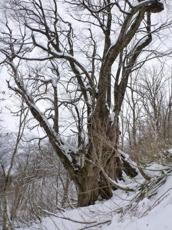 冬のコモチカツラ