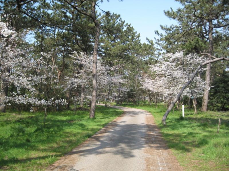 桜とクロマツ(散策路周辺)