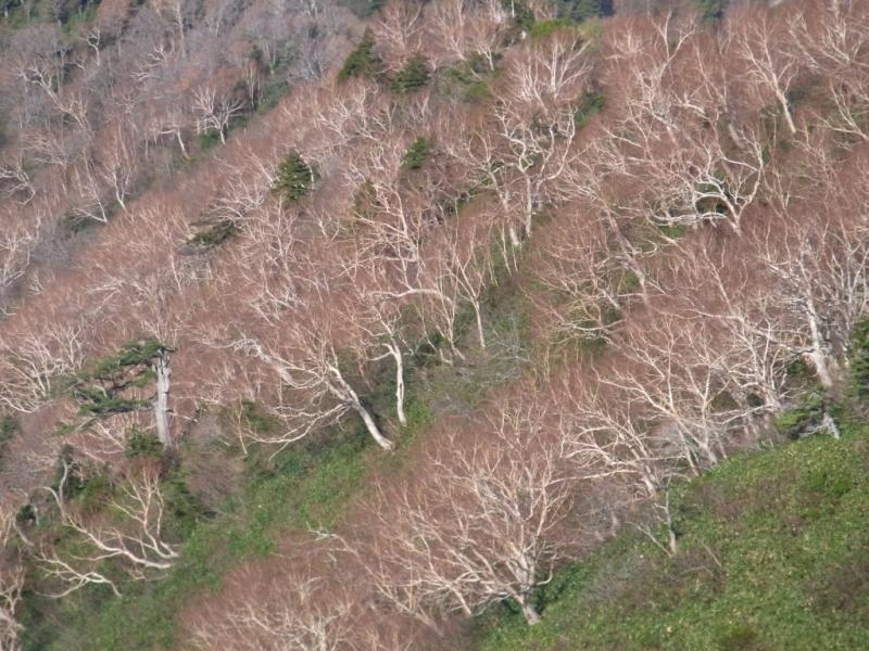 落葉したダケカンバ林(近景)