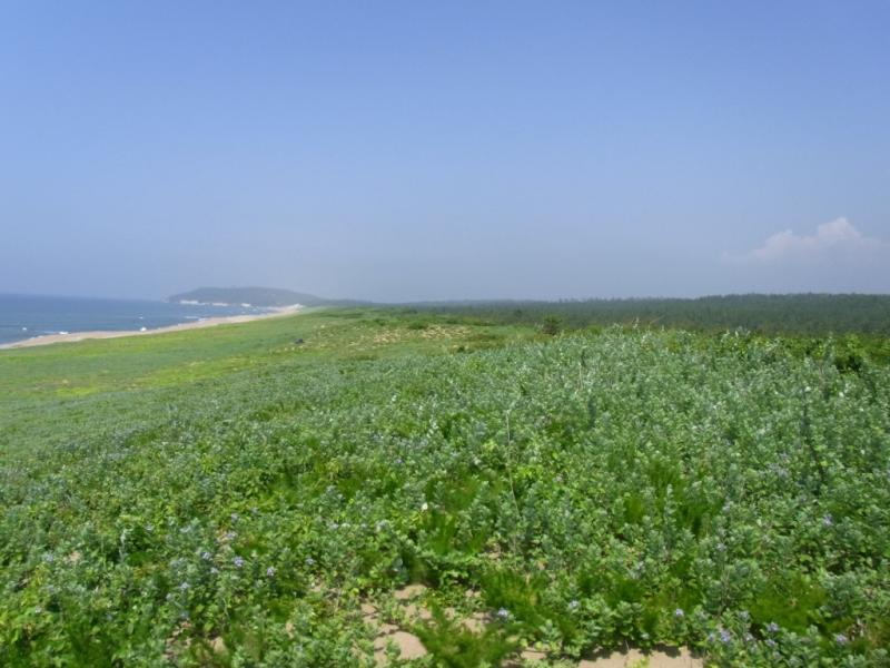 前丘を被うハマゴボウの群生