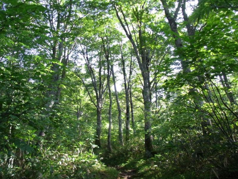 登山道沿いのブナ林