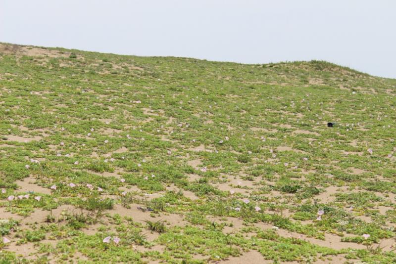 ヒルガオの群落と加賀海岸国有林の前丘