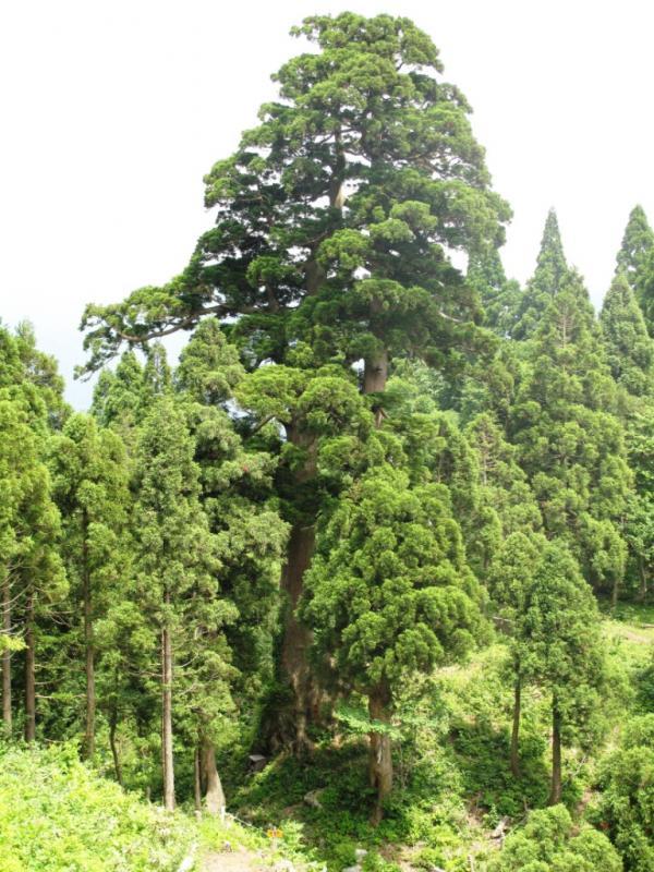 桃木峠の大杉・森の巨人たち100選の1つ:経ヶ岳国有林(大野市)