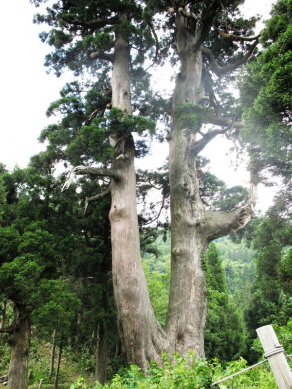 桃木峠の大杉:経ヶ岳国有林(大野市)