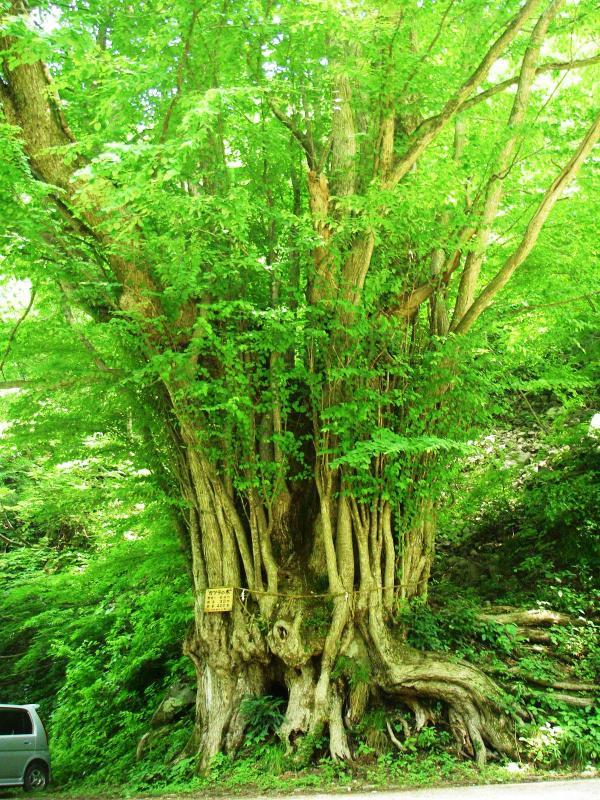 登山道入り口脇のカツラの巨木:岩谷国有林(南越前町)