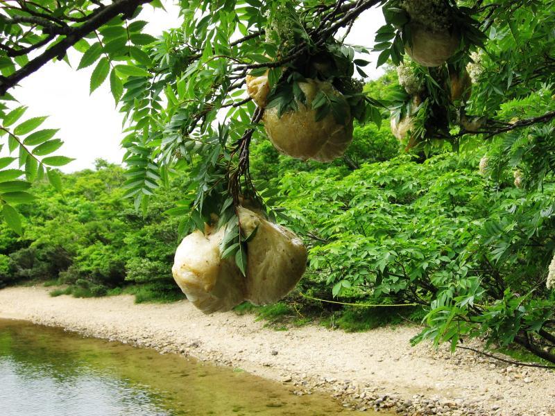 夜叉ヶ池のモリアオガエルの卵:岩谷国有林(南越前町