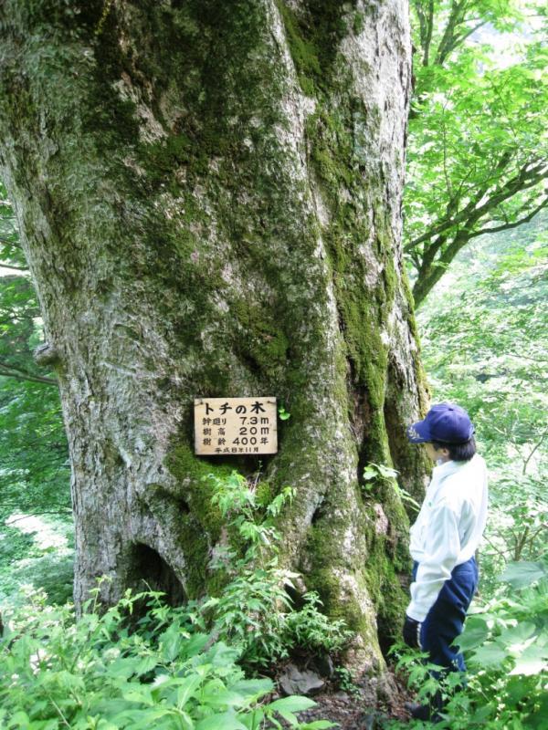 岩谷トチノキ 森の巨人たち100選の1つ:岩谷国有林(南越前町)