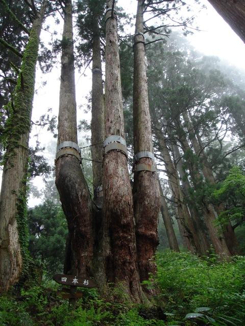 森のの巨人たち百選:四本杉