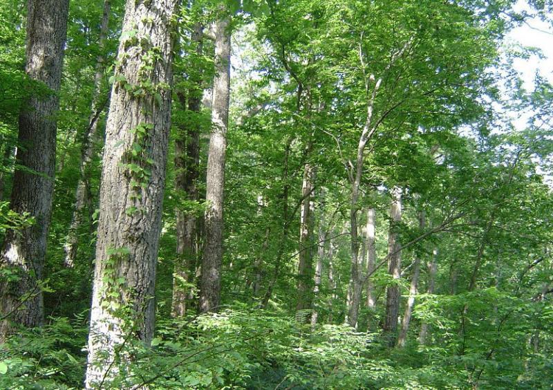 釜ヶ峰遺伝資源保存林のアベマキ