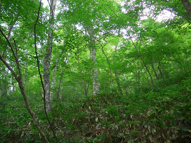 ブナ植物群落保存林(指谷山)