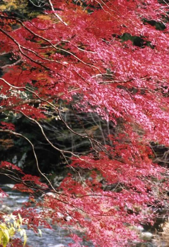 紅葉:赤西国有林