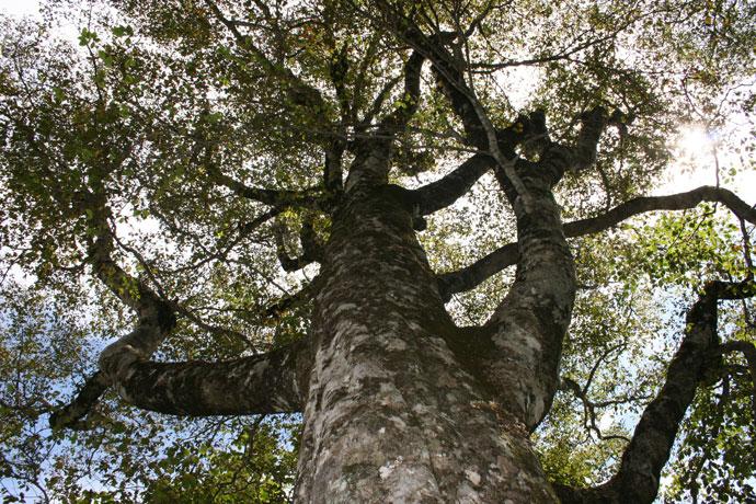 ブナ:坂ノ谷風景林